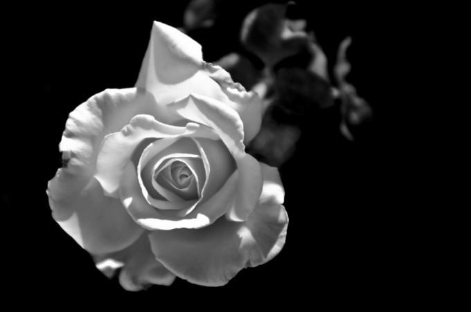 rosa-blanco-y-negro-680x451
